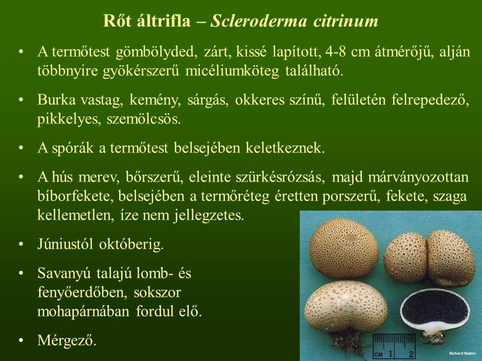 Rőt áltrifla – Scleroderma citrinum A termőtest gömbölyded, zárt, kissé lapított, 4-8 cm átmérőjű, alján többnyire gyökérszerű micéliumköteg található.