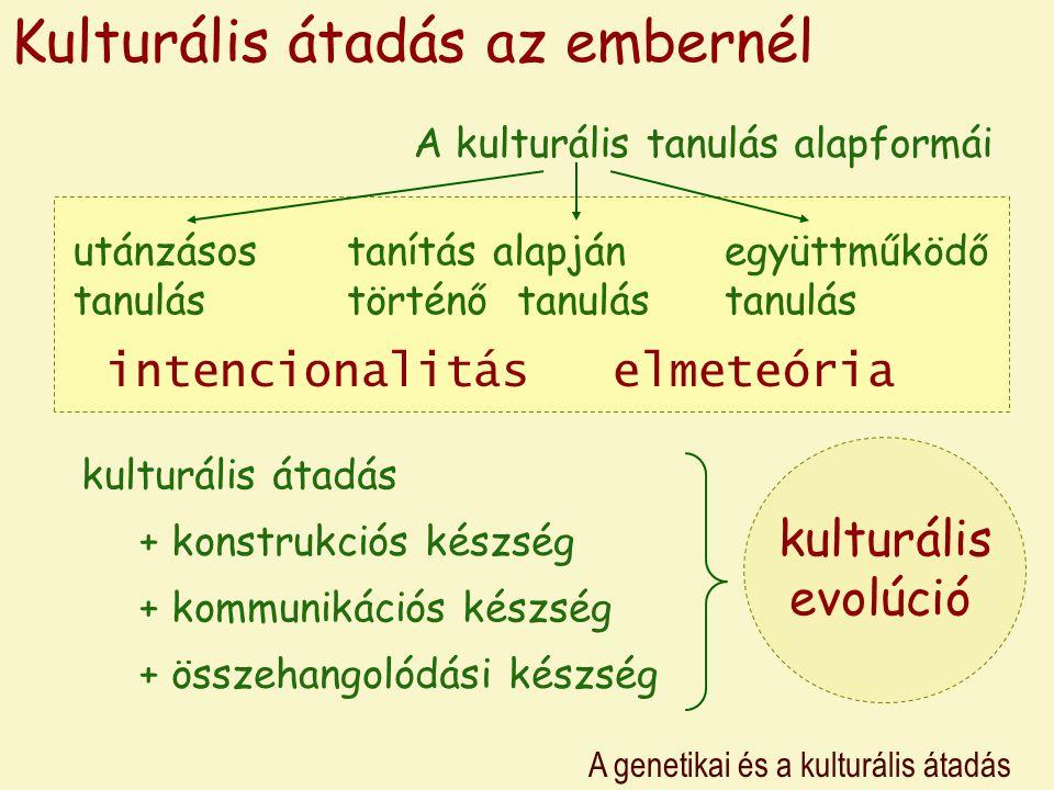 A genetikai és a kulturális átadás Kulturális átadás az embernél A kulturális tanulás alapformái utánzásos tanulás tanítás alapján történő tanulás együttműködő tanulás intencionalitáselmeteória kulturális átadás + konstrukciós készség + összehangolódási készség + kommunikációs készség kulturális evolúció