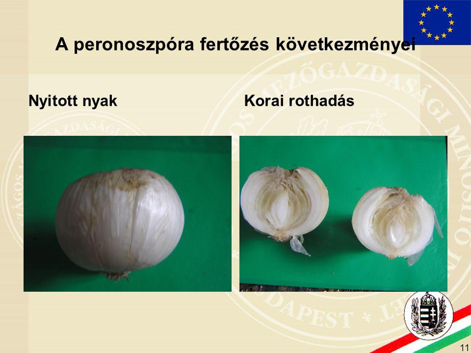 11 A peronoszpóra fertőzés következményei Nyitott nyakKorai rothadás