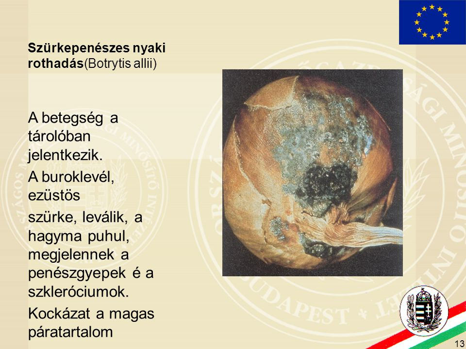 13 Szürkepenészes nyaki rothadás(Botrytis allii) A betegség a tárolóban jelentkezik. A buroklevél, ezüstös szürke, leválik, a hagyma puhul, megjelenne