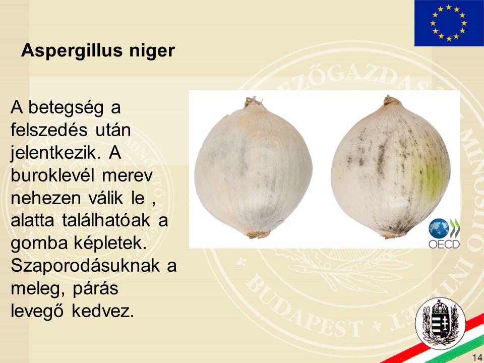 14 Aspergillus niger A betegség a felszedés után jelentkezik. A buroklevél merev nehezen válik le, alatta találhatóak a gomba képletek. Szaporodásukna