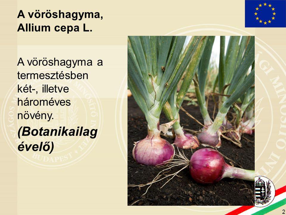 2 A vöröshagyma, Allium cepa L. A vöröshagyma a termesztésben két-, illetve hároméves növény. (Botanikailag évelő)