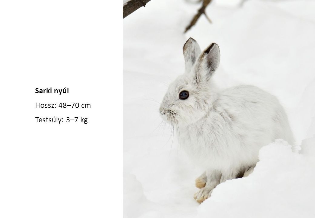 Sarki nyúl Hossz: 48–70 cm Testsúly: 3–7 kg