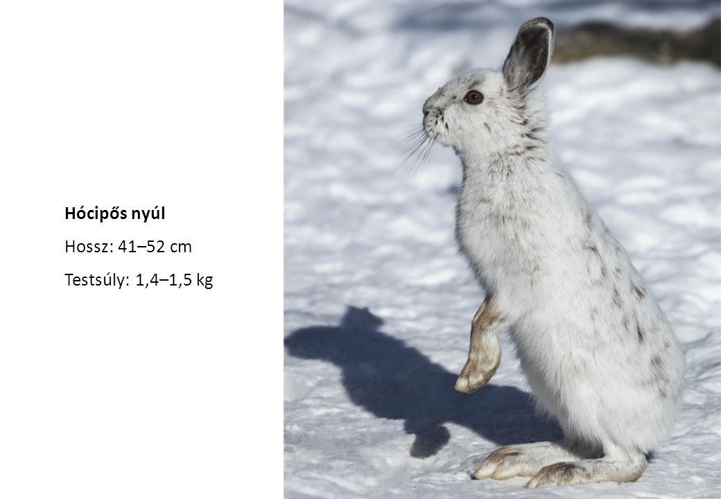 Hócipős nyúl Hossz: 41–52 cm Testsúly: 1,4–1,5 kg