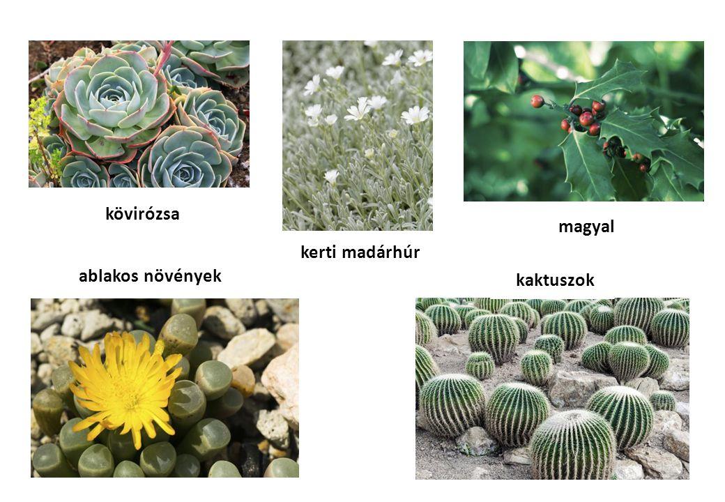 kövirózsa magyal kerti madárhúr ablakos növények kaktuszok