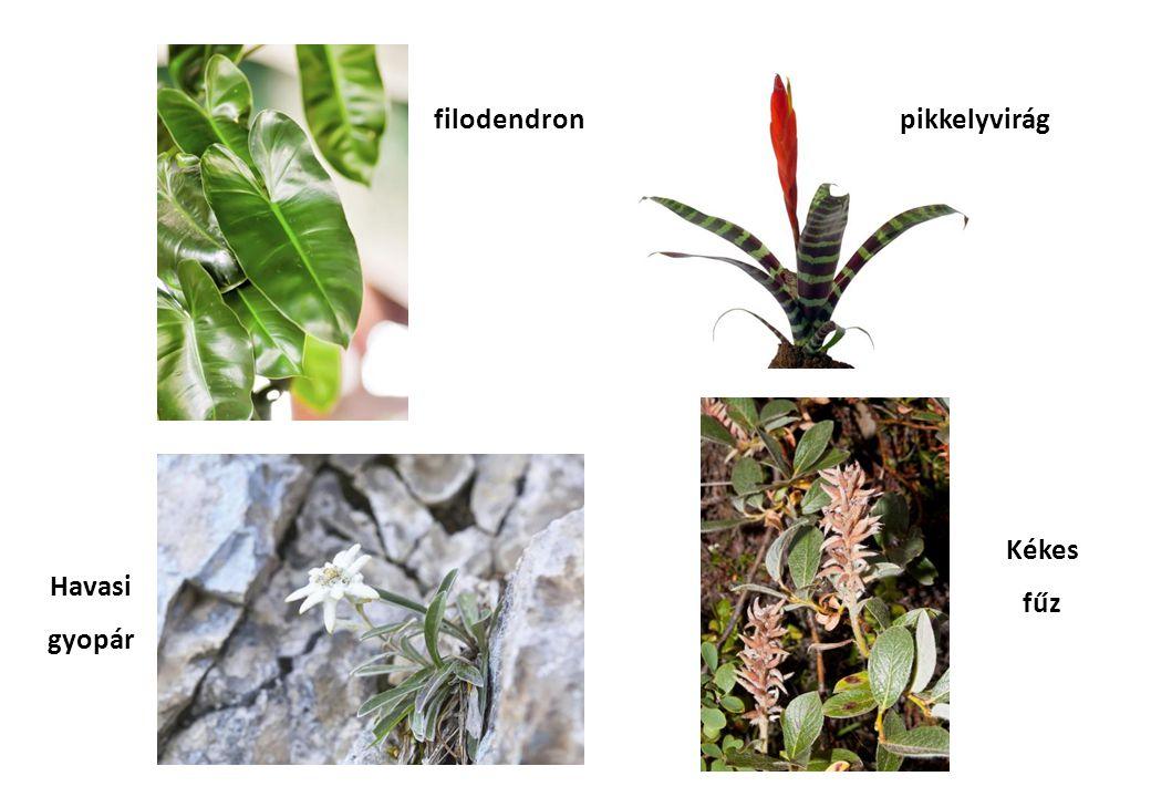 Kékes fűz filodendron Havasi gyopár pikkelyvirág