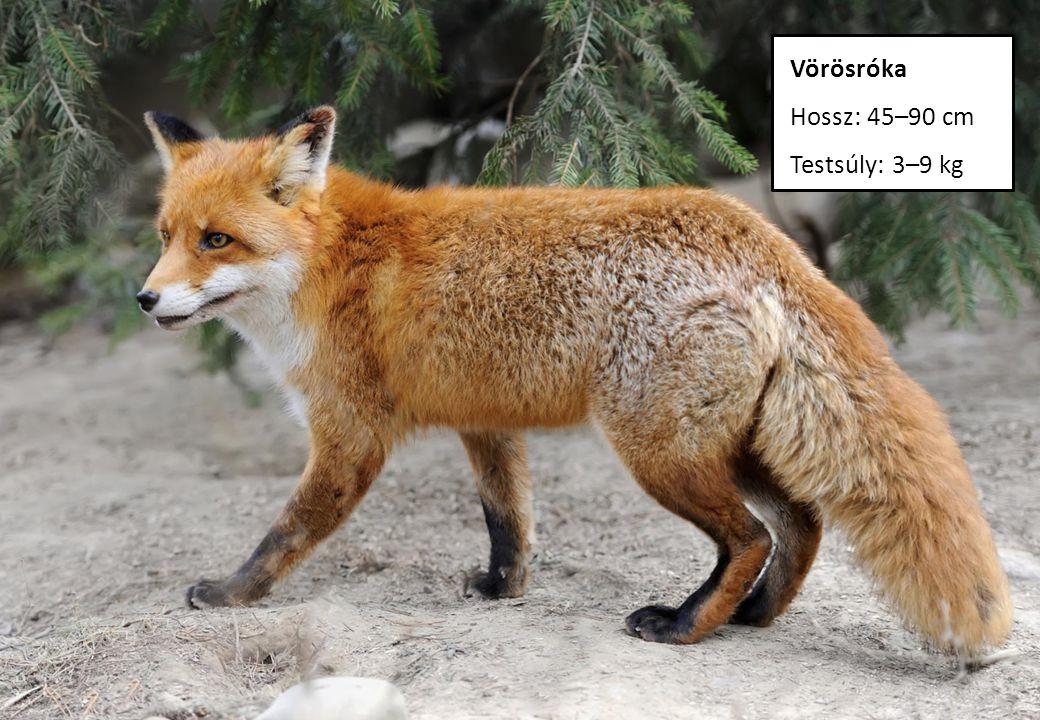 Vörösróka Hossz: 45–90 cm Testsúly: 3–9 kg