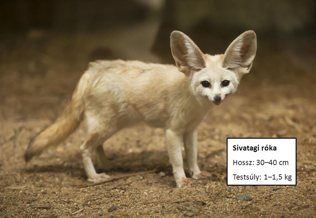 Sivatagi róka Hossz: 30–40 cm Testsúly: 1–1,5 kg