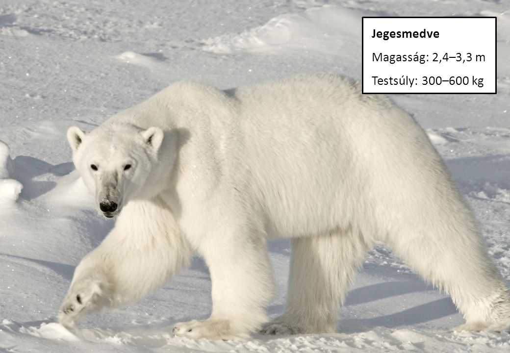 Jegesmedve Magasság: 2,4–3,3 m Testsúly: 300–600 kg