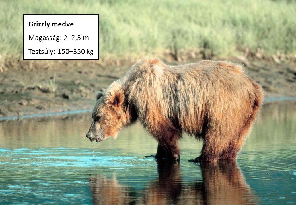 Grizzly medve Magasság: 2–2,5 m Testsúly: 150–350 kg