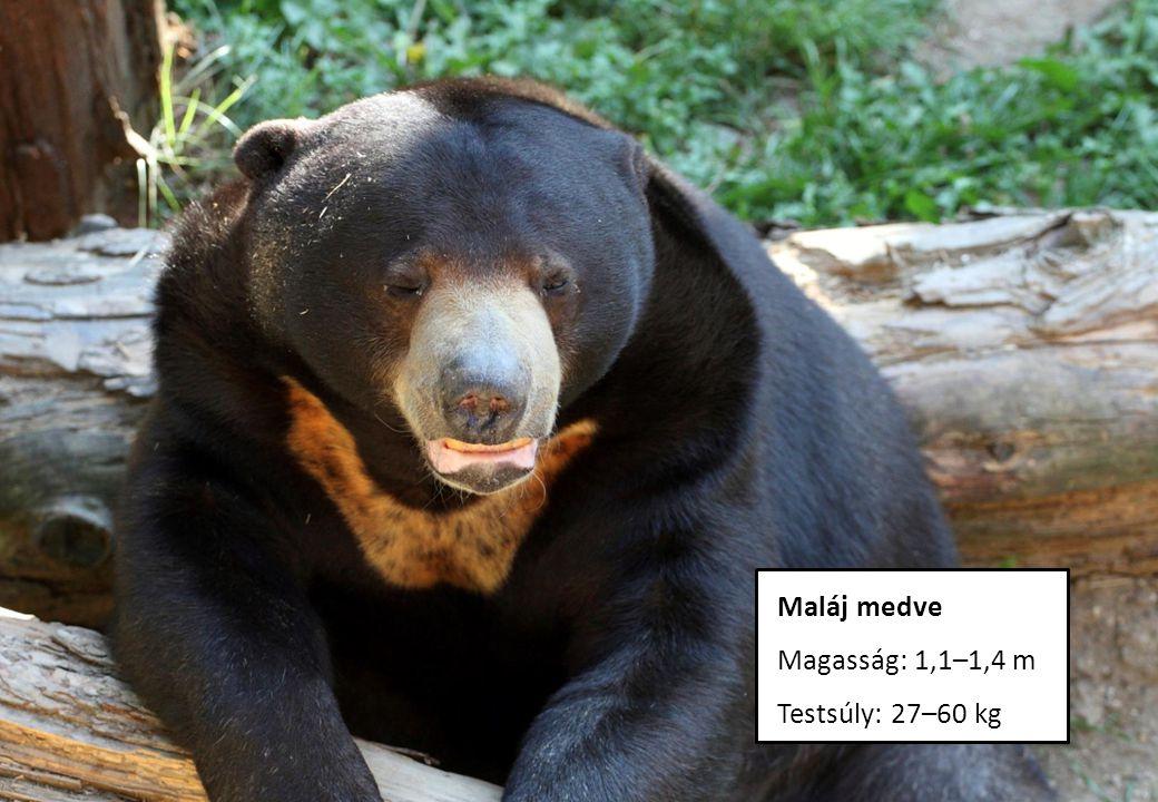 Maláj medve Magasság: 1,1–1,4 m Testsúly: 27–60 kg