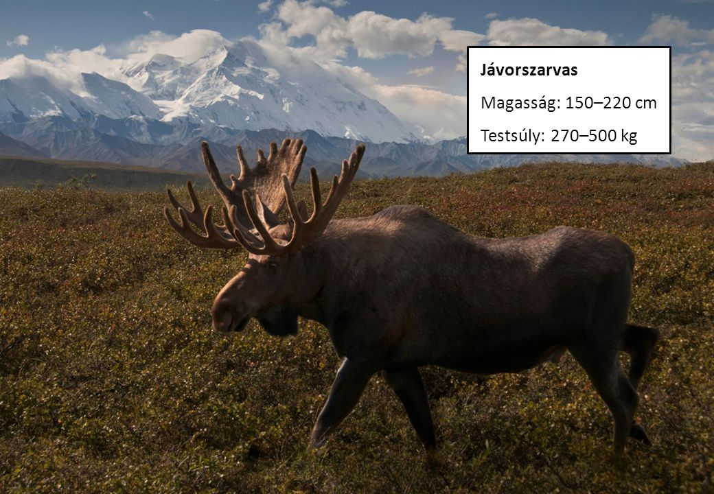 Jávorszarvas Magasság: 150–220 cm Testsúly: 270–500 kg
