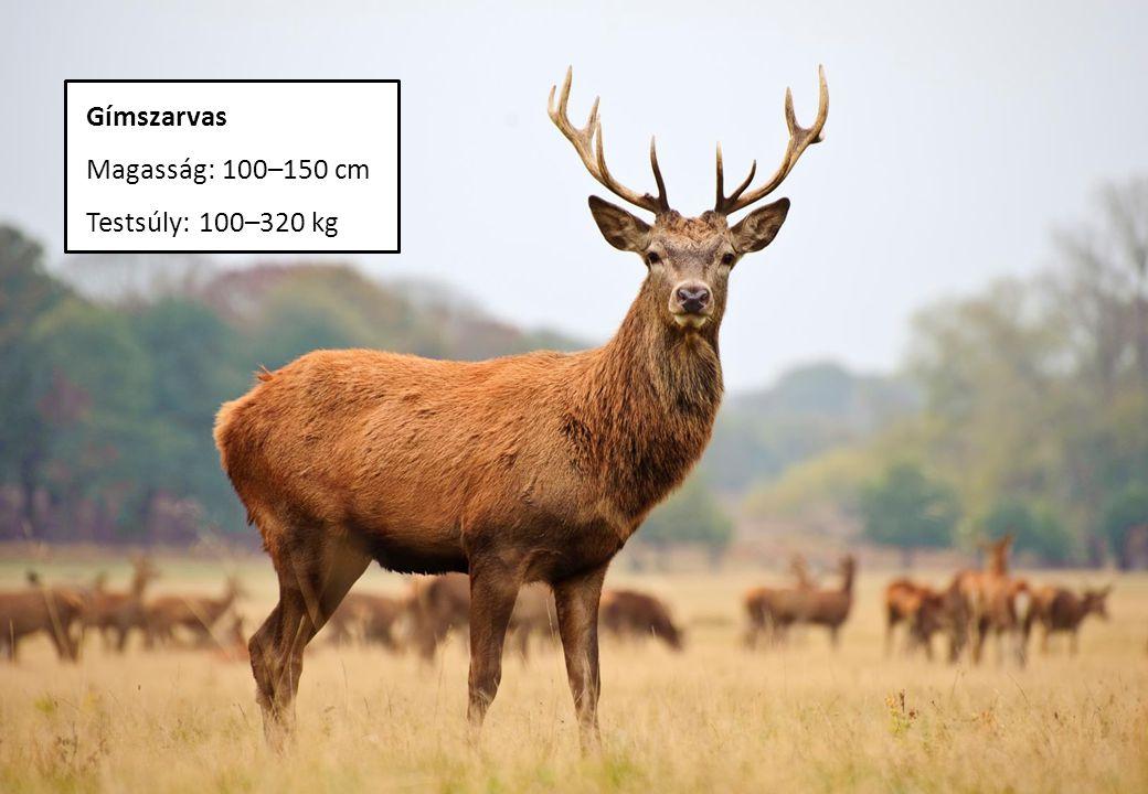 Gímszarvas Magasság: 100–150 cm Testsúly: 100–320 kg