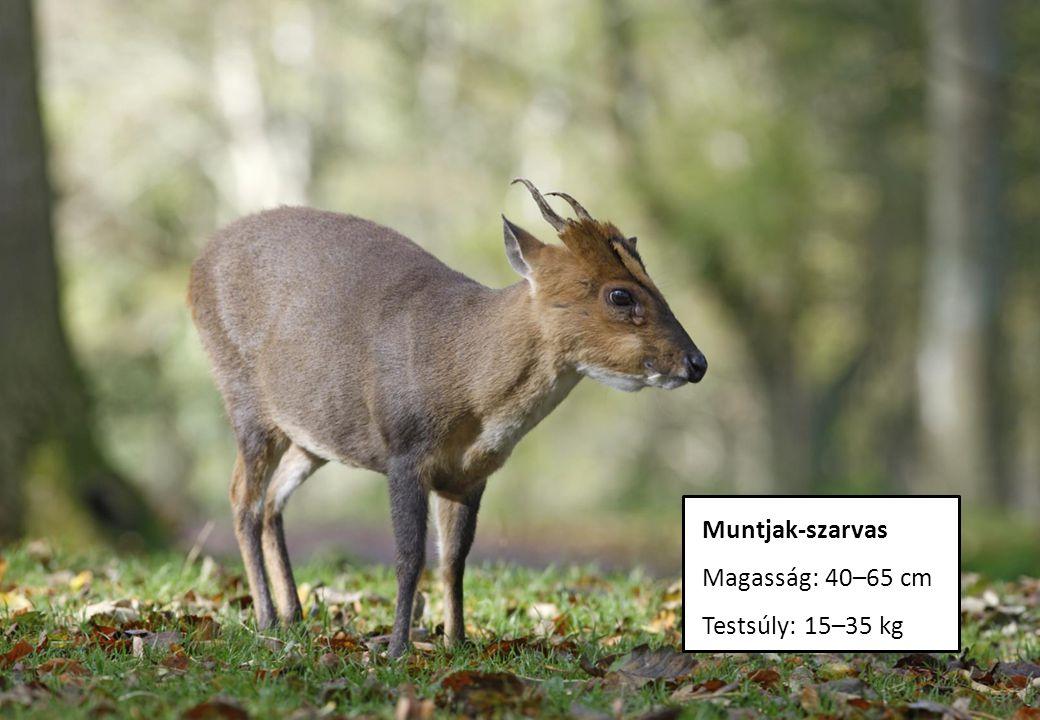 Muntjak-szarvas Magasság: 40–65 cm Testsúly: 15–35 kg