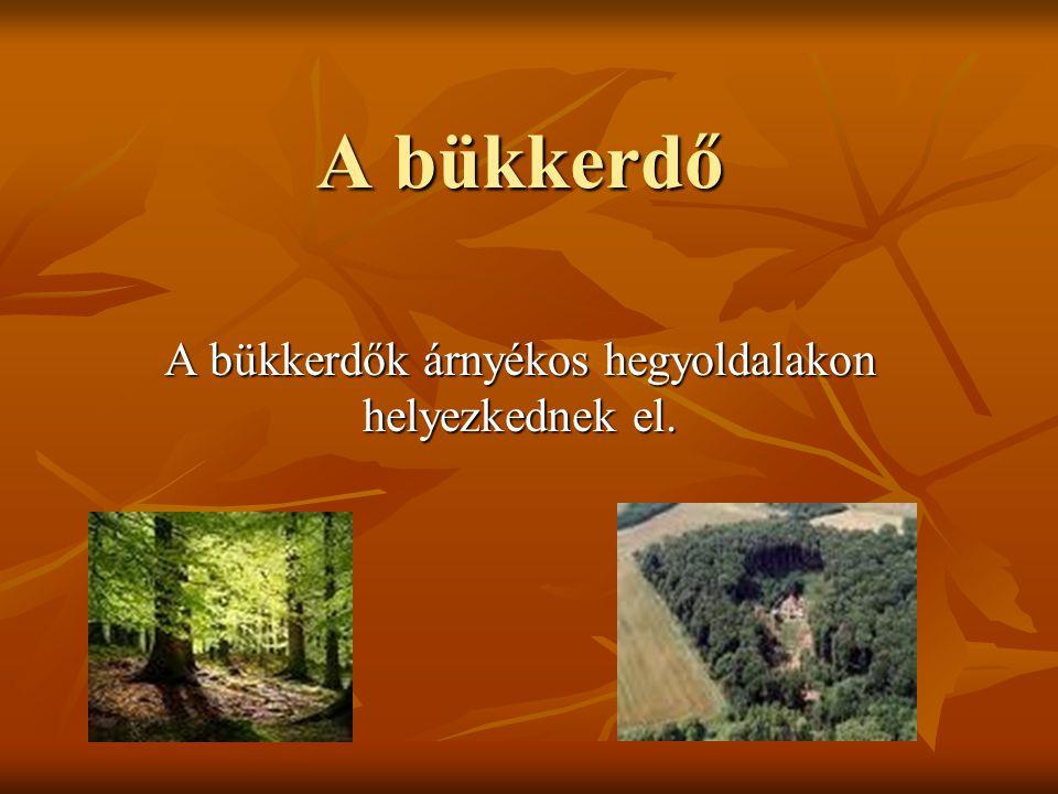 A bükkerdő A bükkerdők árnyékos hegyoldalakon helyezkednek el.