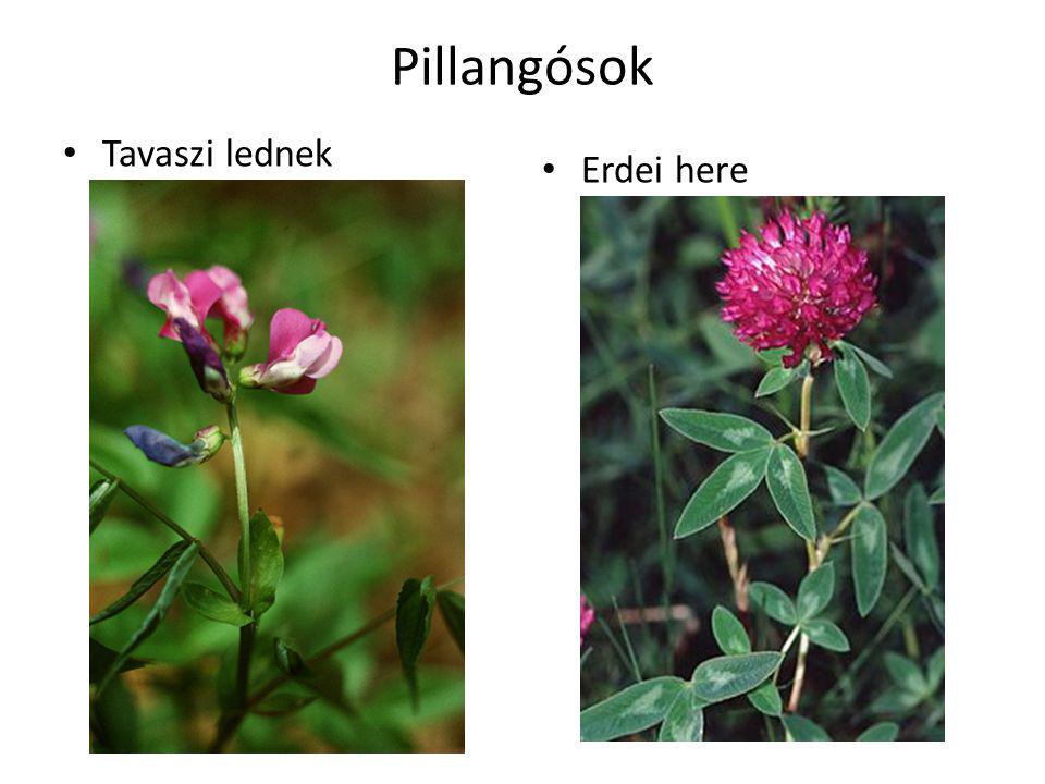 Pillangósok Tavaszi lednek Erdei here