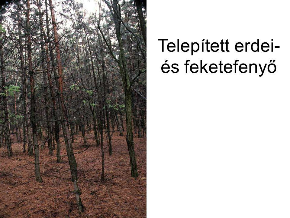 Telepített erdei- és feketefenyő