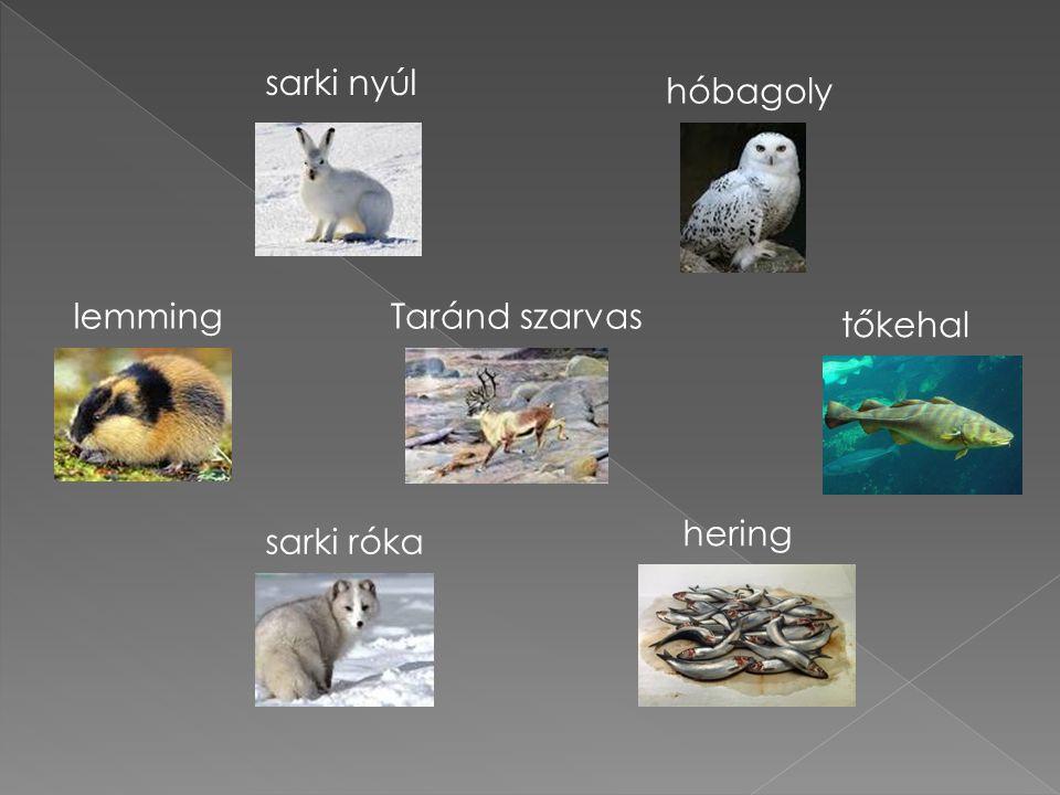 lemming sarki nyúl sarki róka Taránd szarvas hóbagoly hering tőkehal