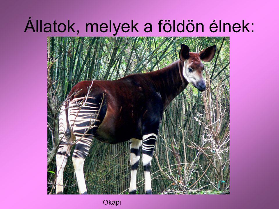 Állatok, melyek a földön élnek: Okapi