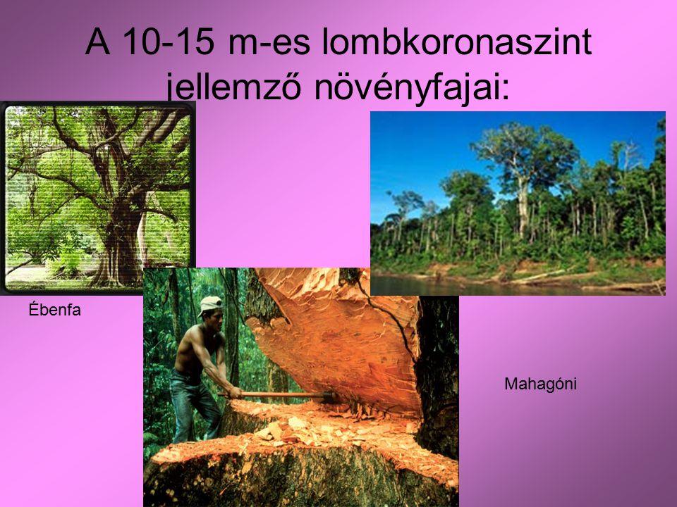 A 10-15 m-es lombkoronaszint jellemző növényfajai: Ébenfa Mаhagóni