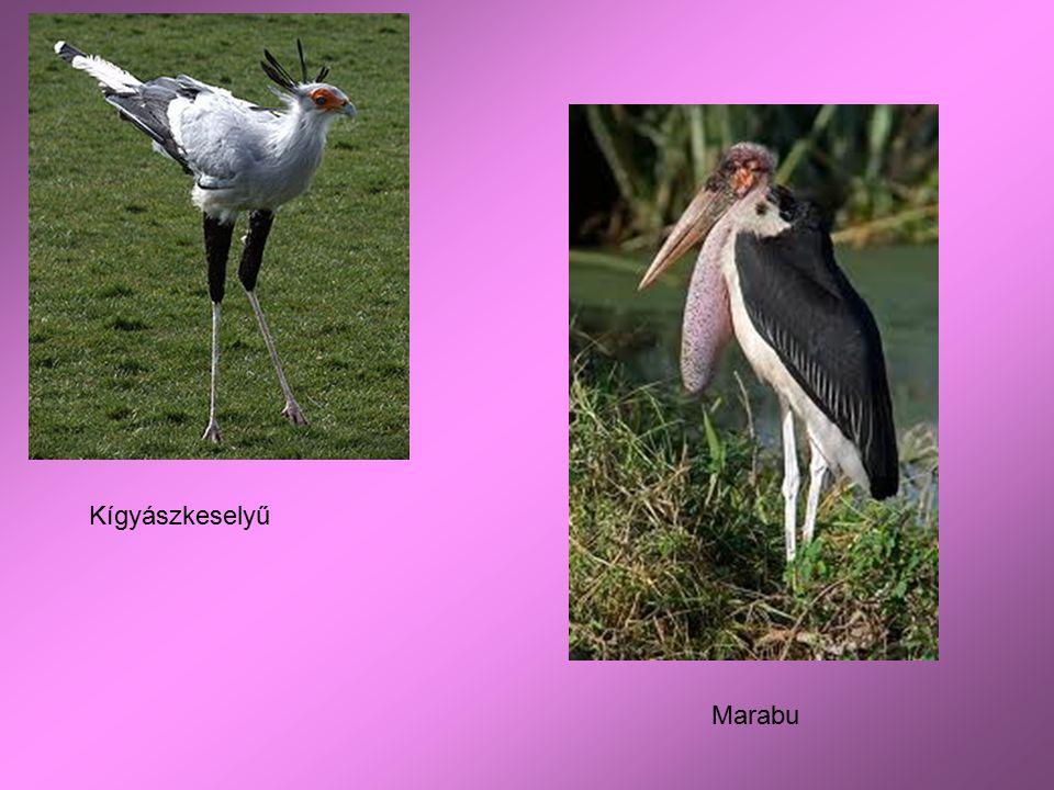 Kígyászkeselyű Marabu