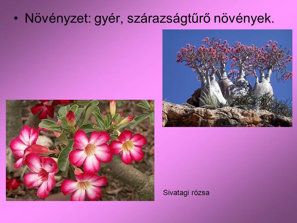Növényzet: gyér, szárazságtűrő növények. Sivatagi rózsa