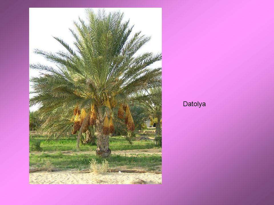 Datolya