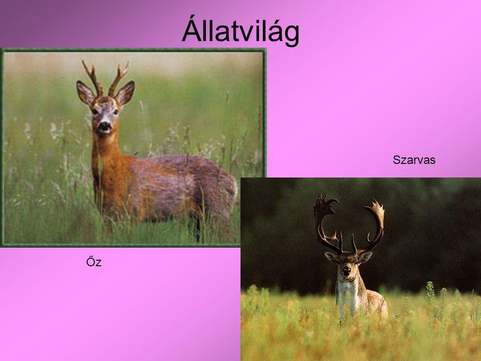 Állatvilág Őz Szarvas