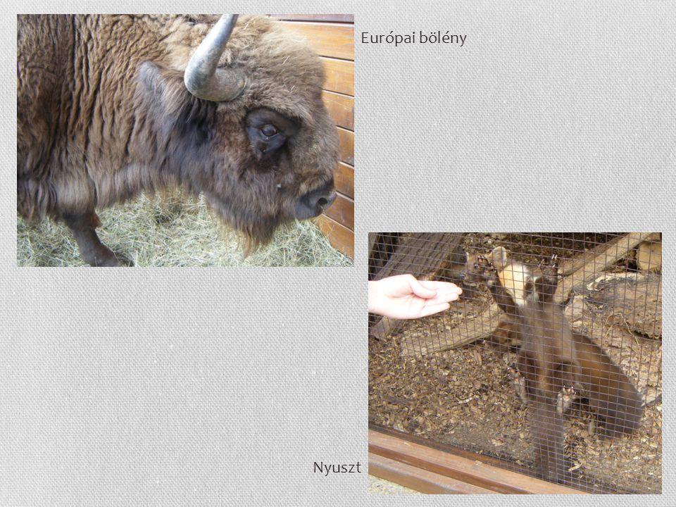 Európai bölény Nyuszt