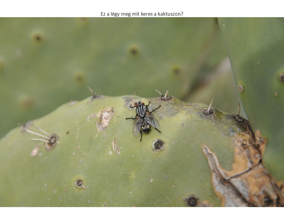 Ez a légy meg mit keres a kaktuszon?