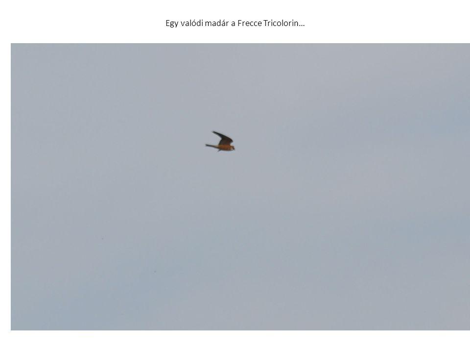 Egy valódi madár a Frecce Tricolorin…