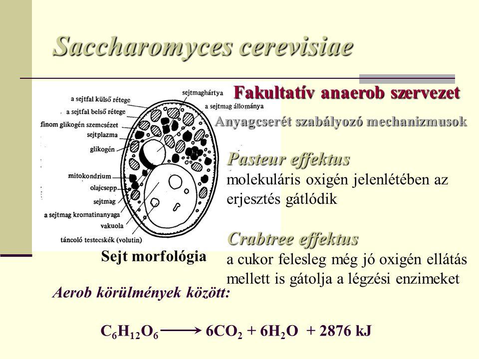 Saccharomyces cerevisiae Sejt morfológia Anyagcserét szabályozó mechanizmusok Pasteur effektus molekuláris oxigén jelenlétében az erjesztés gátlódik C