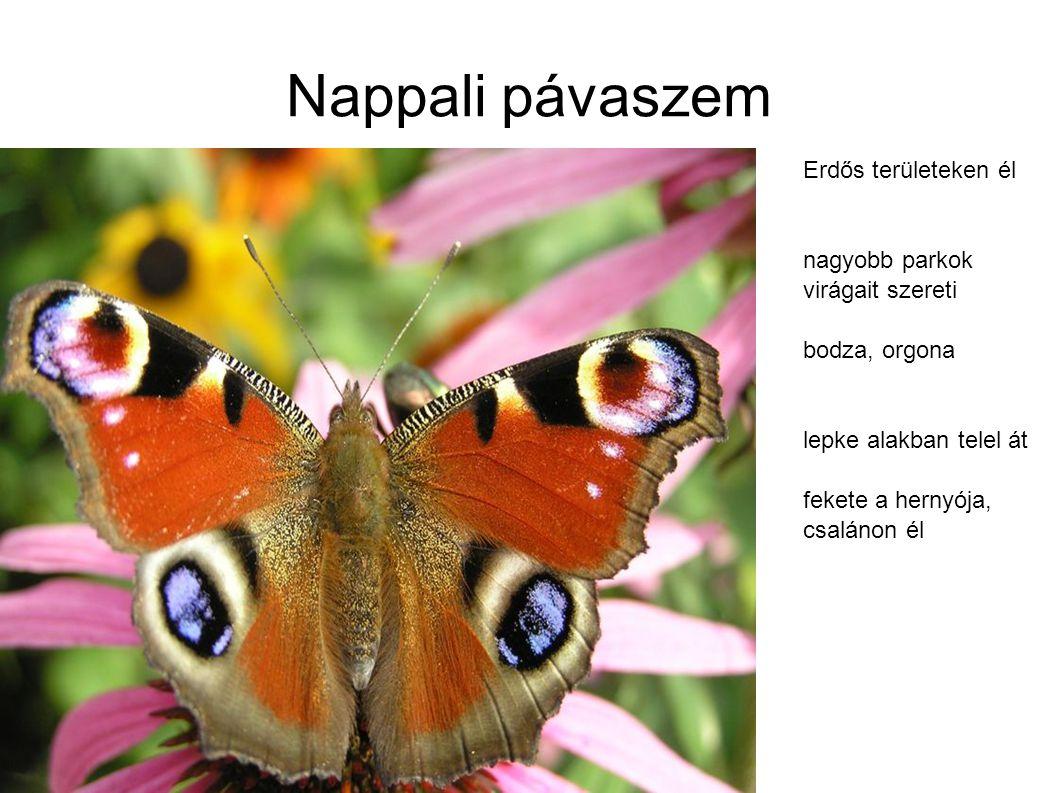 Nappali pávaszem Erdős területeken él nagyobb parkok virágait szereti bodza, orgona lepke alakban telel át fekete a hernyója, csalánon él