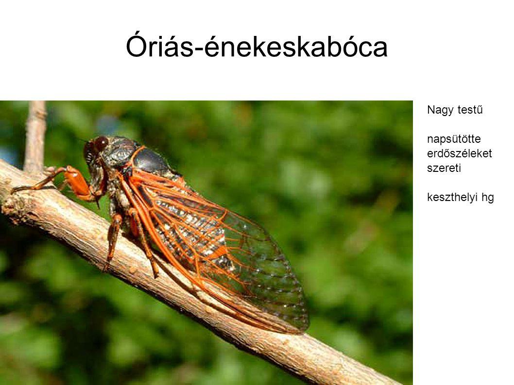 Óriás-énekeskabóca Nagy testű napsütötte erdőszéleket szereti keszthelyi hg