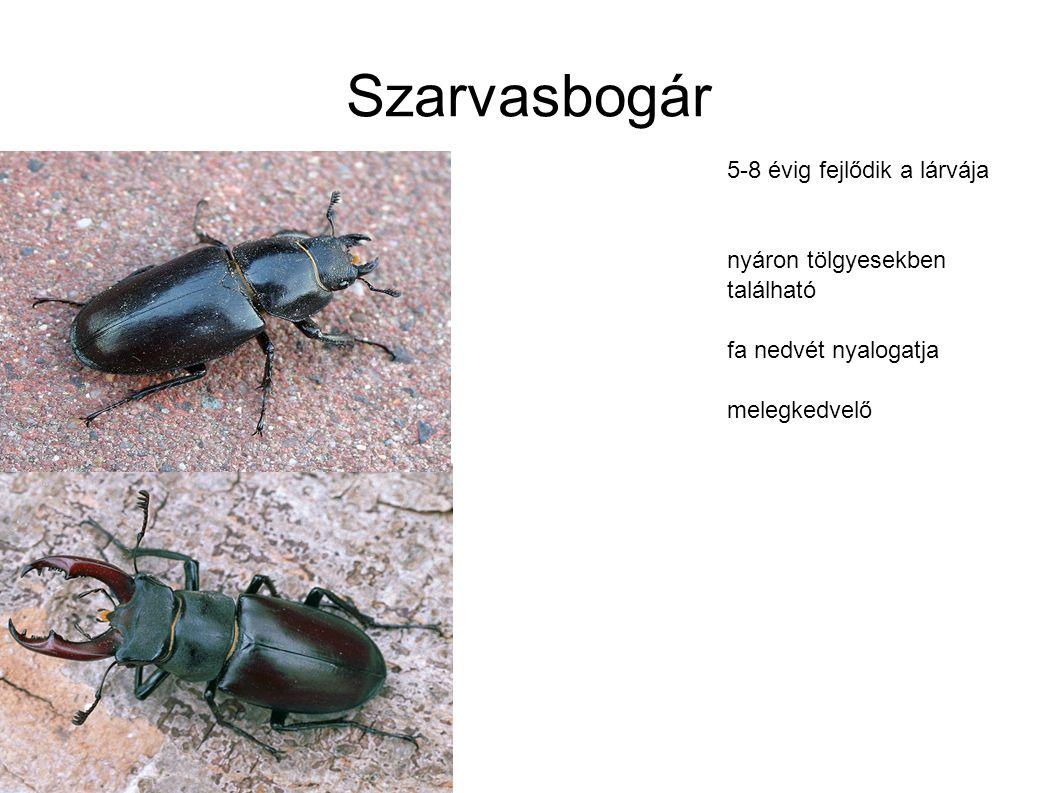 Szarvasbogár 5-8 évig fejlődik a lárvája nyáron tölgyesekben található fa nedvét nyalogatja melegkedvelő
