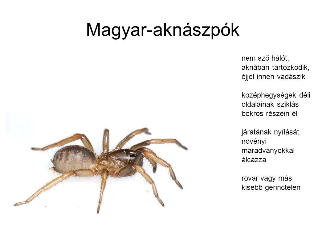 Magyar-aknászpók nem sző hálót, aknában tartózkodik, éjjel innen vadászik középhegységek déli oldalainak sziklás bokros részein él járatának nyílását