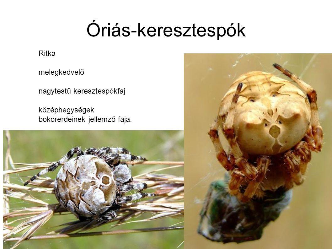 Óriás-keresztespók Ritka melegkedvelő nagytestű keresztespókfaj középhegységek bokorerdeinek jellemző faja.
