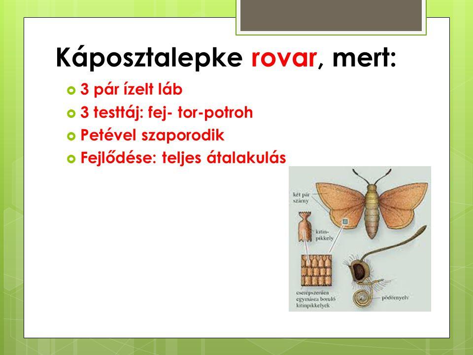 Káposztalepke rovar, mert:  3 pár ízelt láb  3 testtáj: fej- tor-potroh  Petével szaporodik  Fejlődése: teljes átalakulás