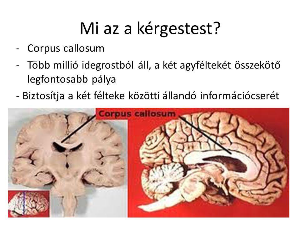 Mi az a kérgestest? -Corpus callosum -Több millió idegrostból áll, a két agyféltekét összekötő legfontosabb pálya - Biztosítja a két félteke közötti á