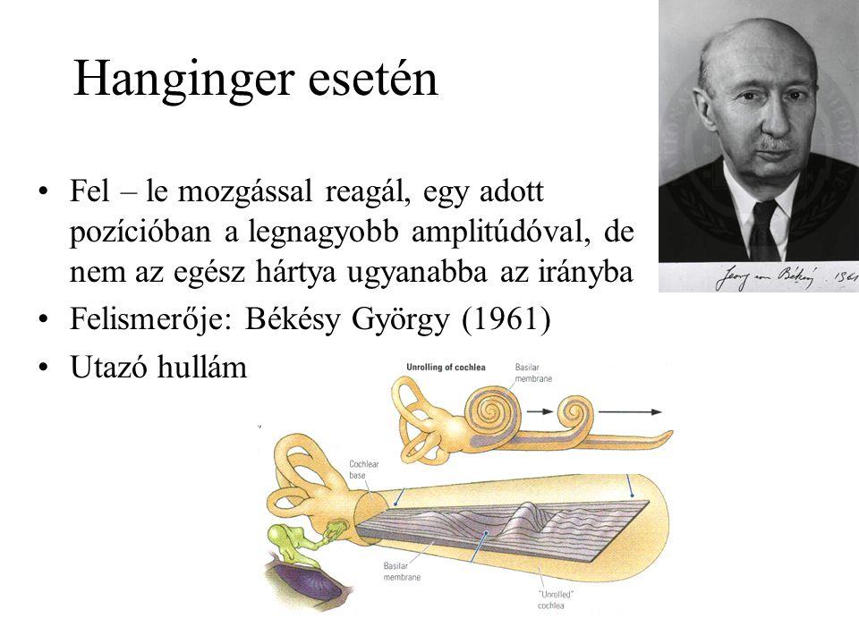 Hanginger esetén Fel – le mozgással reagál, egy adott pozícióban a legnagyobb amplitúdóval, de nem az egész hártya ugyanabba az irányba Felismerője: Békésy György (1961) Utazó hullám
