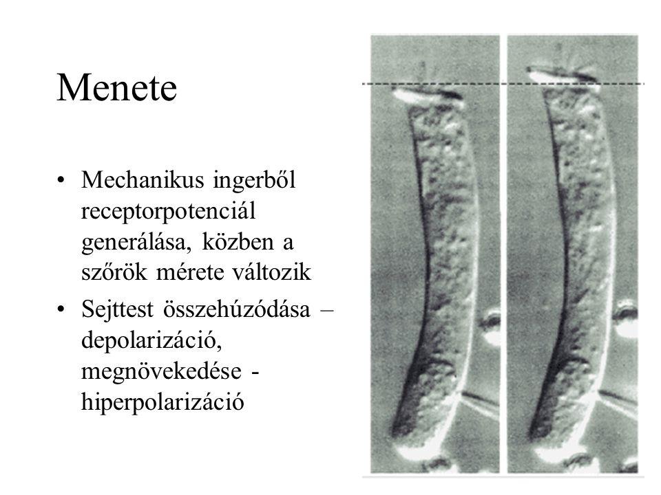 Menete Mechanikus ingerből receptorpotenciál generálása, közben a szőrök mérete változik Sejttest összehúzódása – depolarizáció, megnövekedése - hiperpolarizáció