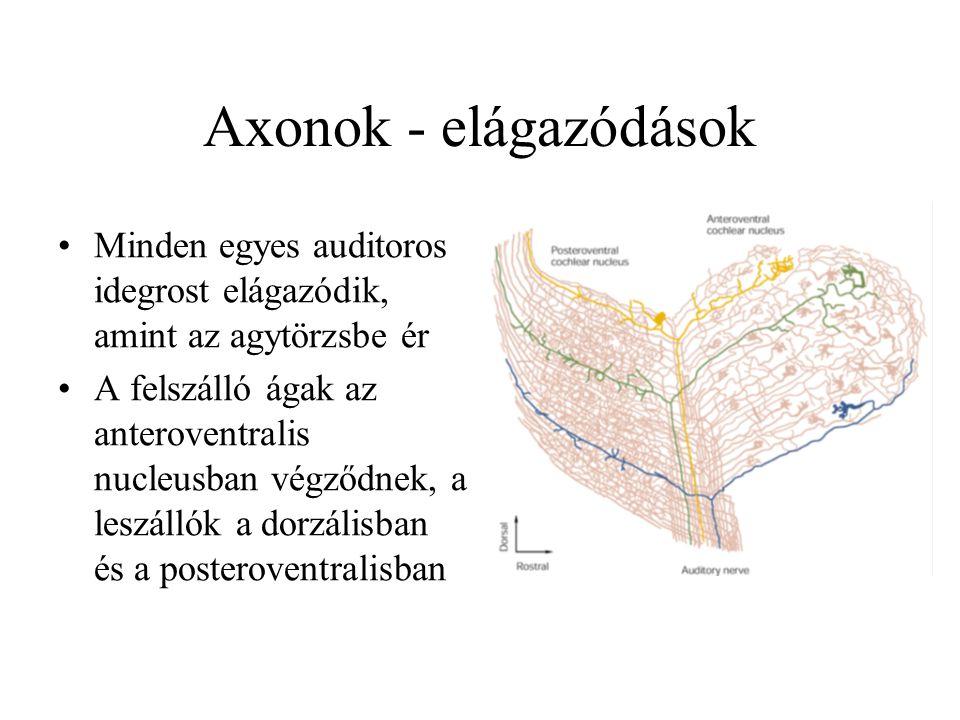 Axonok - elágazódások Minden egyes auditoros idegrost elágazódik, amint az agytörzsbe ér A felszálló ágak az anteroventralis nucleusban végződnek, a leszállók a dorzálisban és a posteroventralisban