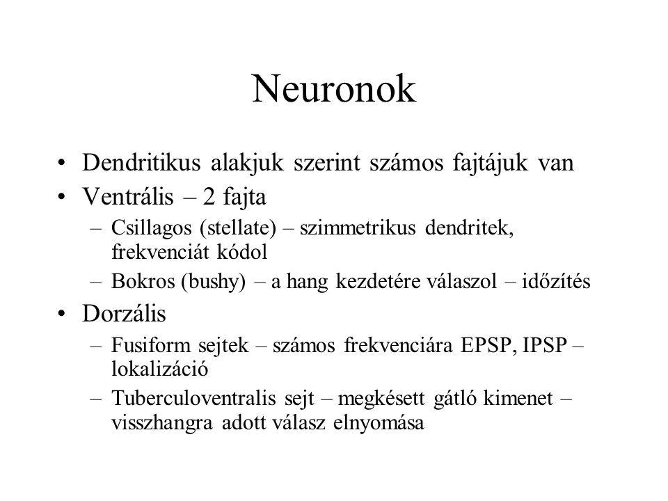 Neuronok Dendritikus alakjuk szerint számos fajtájuk van Ventrális – 2 fajta –Csillagos (stellate) – szimmetrikus dendritek, frekvenciát kódol –Bokros (bushy) – a hang kezdetére válaszol – időzítés Dorzális –Fusiform sejtek – számos frekvenciára EPSP, IPSP – lokalizáció –Tuberculoventralis sejt – megkésett gátló kimenet – visszhangra adott válasz elnyomása