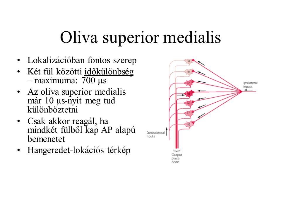 Oliva superior medialis Lokalizációban fontos szerep Két fül közötti időkülönbség – maximuma: 700 µs Az oliva superior medialis már 10 µs-nyit meg tud különböztetni Csak akkor reagál, ha mindkét fülből kap AP alapú bemenetet Hangeredet-lokációs térkép