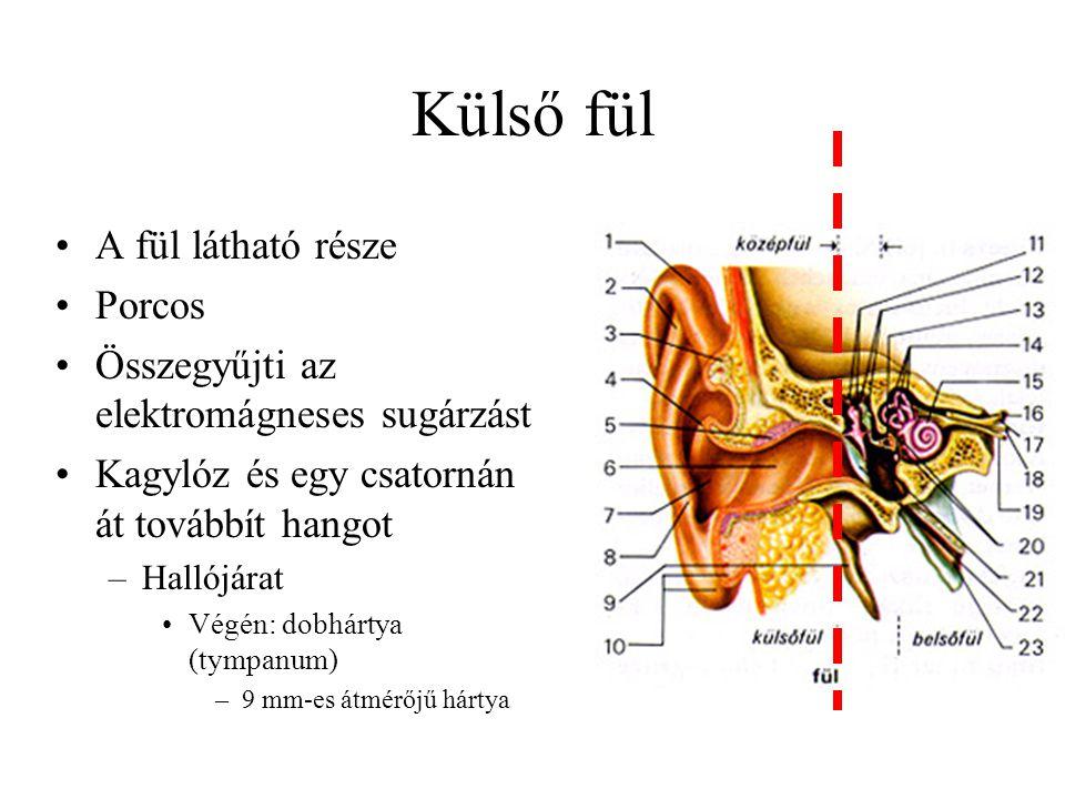 Külső fül A fül látható része Porcos Összegyűjti az elektromágneses sugárzást Kagylóz és egy csatornán át továbbít hangot –Hallójárat Végén: dobhártya (tympanum) –9 mm-es átmérőjű hártya