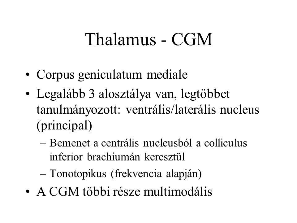 Thalamus - CGM Corpus geniculatum mediale Legalább 3 alosztálya van, legtöbbet tanulmányozott: ventrális/laterális nucleus (principal) –Bemenet a centrális nucleusból a colliculus inferior brachiumán keresztül –Tonotopikus (frekvencia alapján) A CGM többi része multimodális