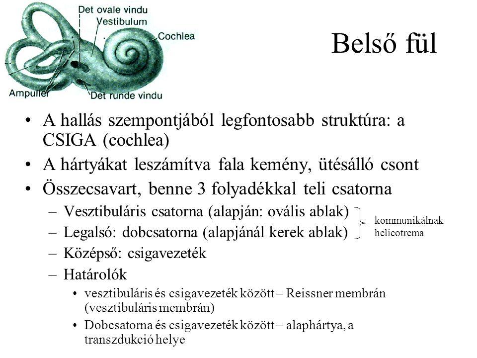 Belső fül A hallás szempontjából legfontosabb struktúra: a CSIGA (cochlea) A hártyákat leszámítva fala kemény, ütésálló csont Összecsavart, benne 3 folyadékkal teli csatorna –Vesztibuláris csatorna (alapján: ovális ablak) –Legalsó: dobcsatorna (alapjánál kerek ablak) –Középső: csigavezeték –Határolók vesztibuláris és csigavezeték között – Reissner membrán (vesztibuláris membrán) Dobcsatorna és csigavezeték között – alaphártya, a transzdukció helye kommunikálnak helicotrema