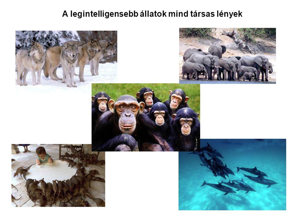A legintelligensebb állatok mind társas lények