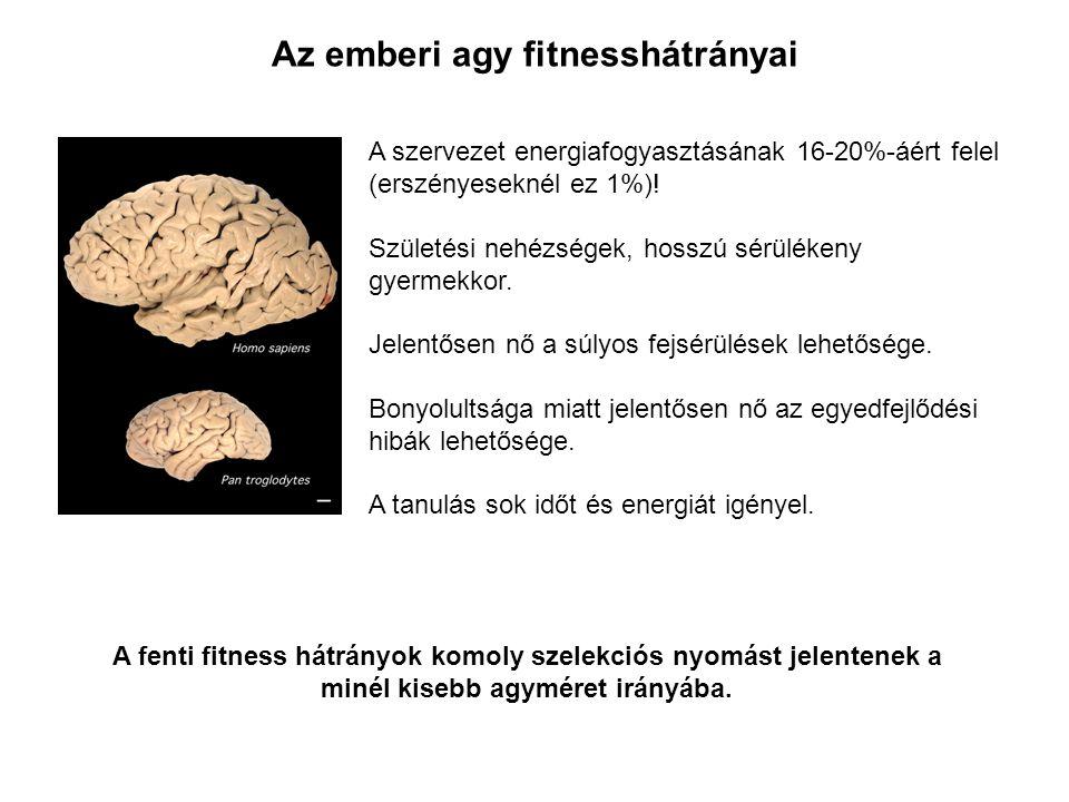 Az emberi agy fitnesshátrányai A szervezet energiafogyasztásának 16-20%-áért felel (erszényeseknél ez 1%)! Születési nehézségek, hosszú sérülékeny gye