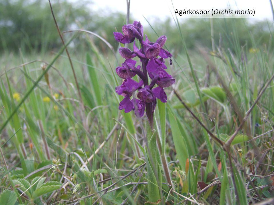 Agárkosbor (Orchis morio)